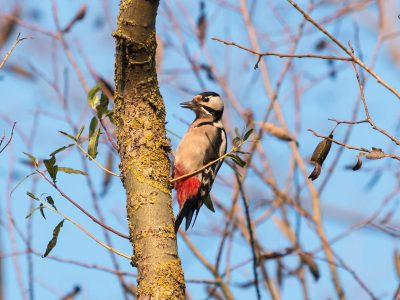 932A Great Spotted Woodpecker Pecking Wood